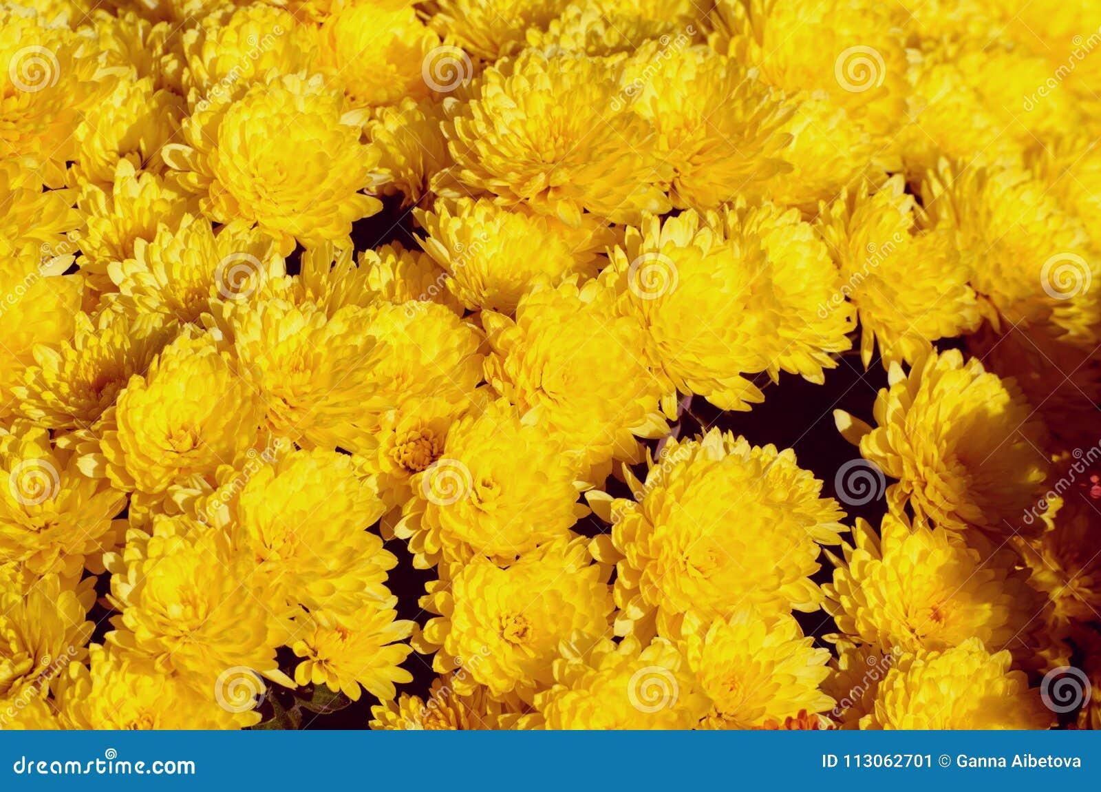 Chrysanthème Jaune Belle Fleur D\'automne Dans Un Décor De Jardin ...