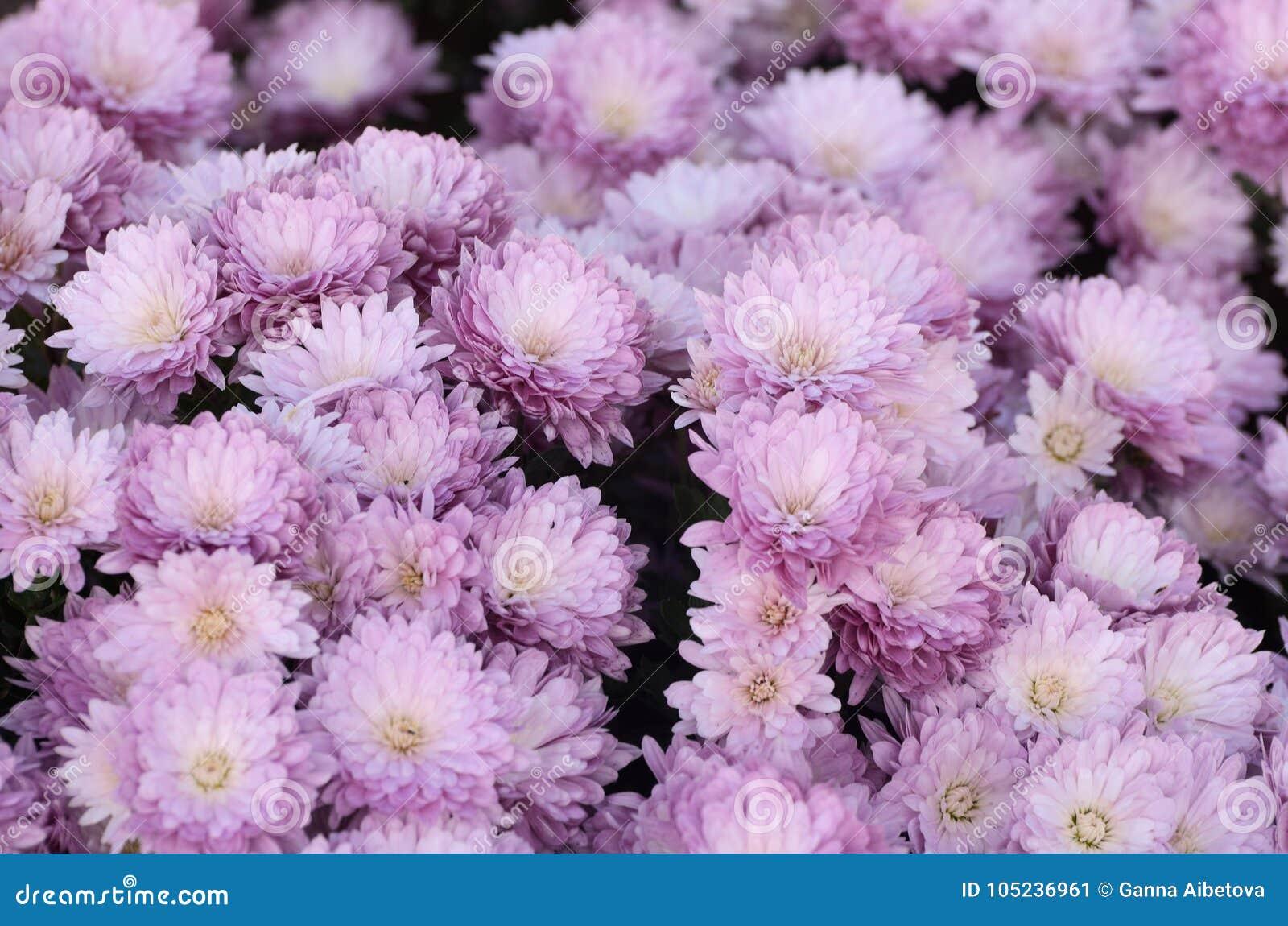 Chrysanthème Rose Belle Fleur D\'automne Dans Un Décor De Jardin Fond ...