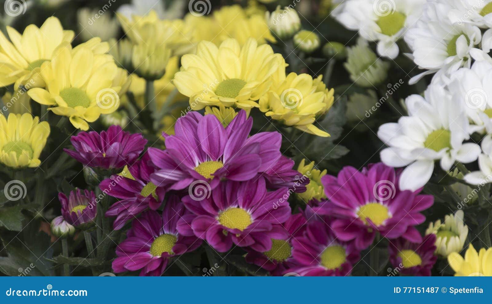 Chrysanthèmes dans le jardin