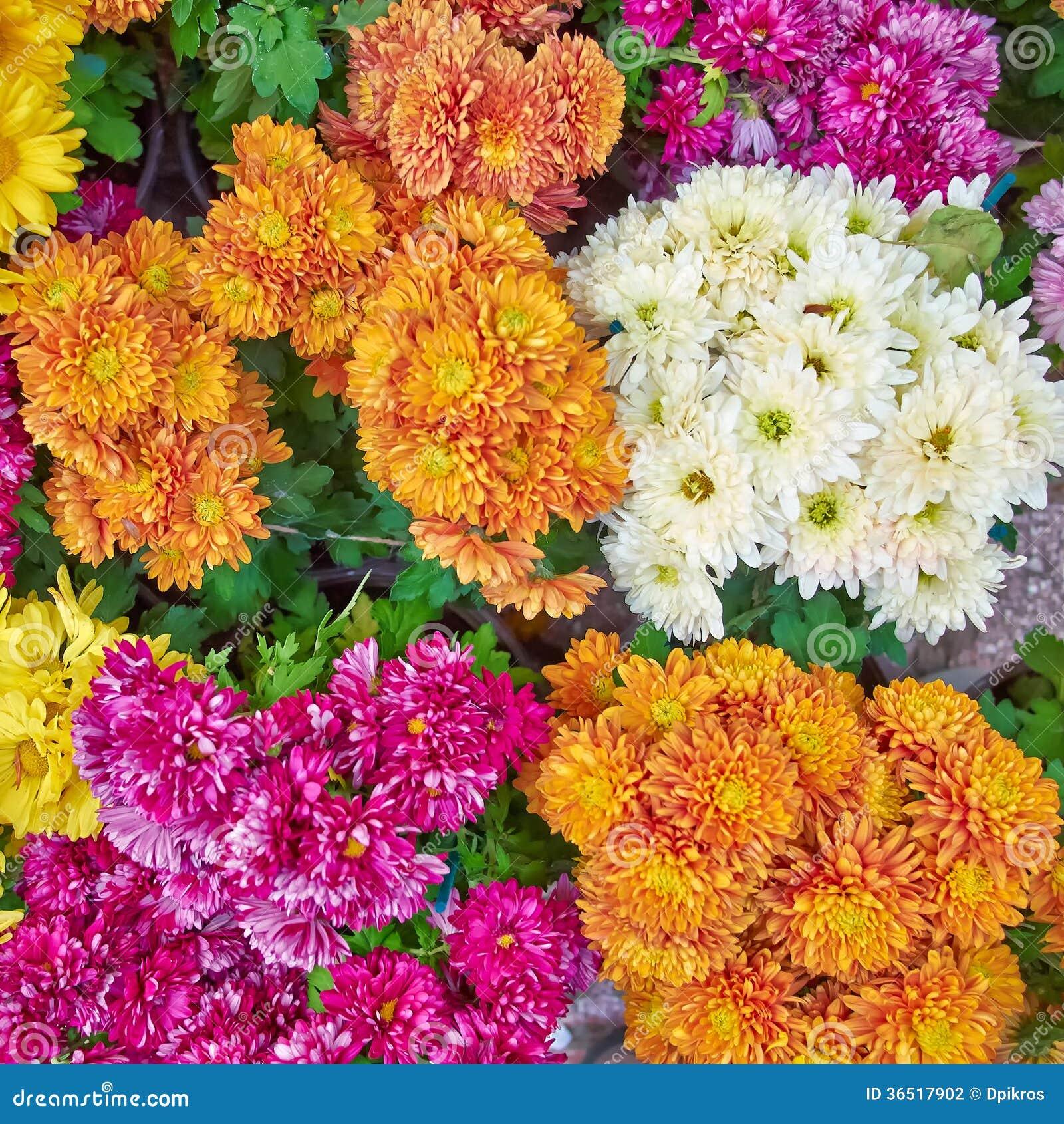 Chrysanthèmes, fond floral naturel