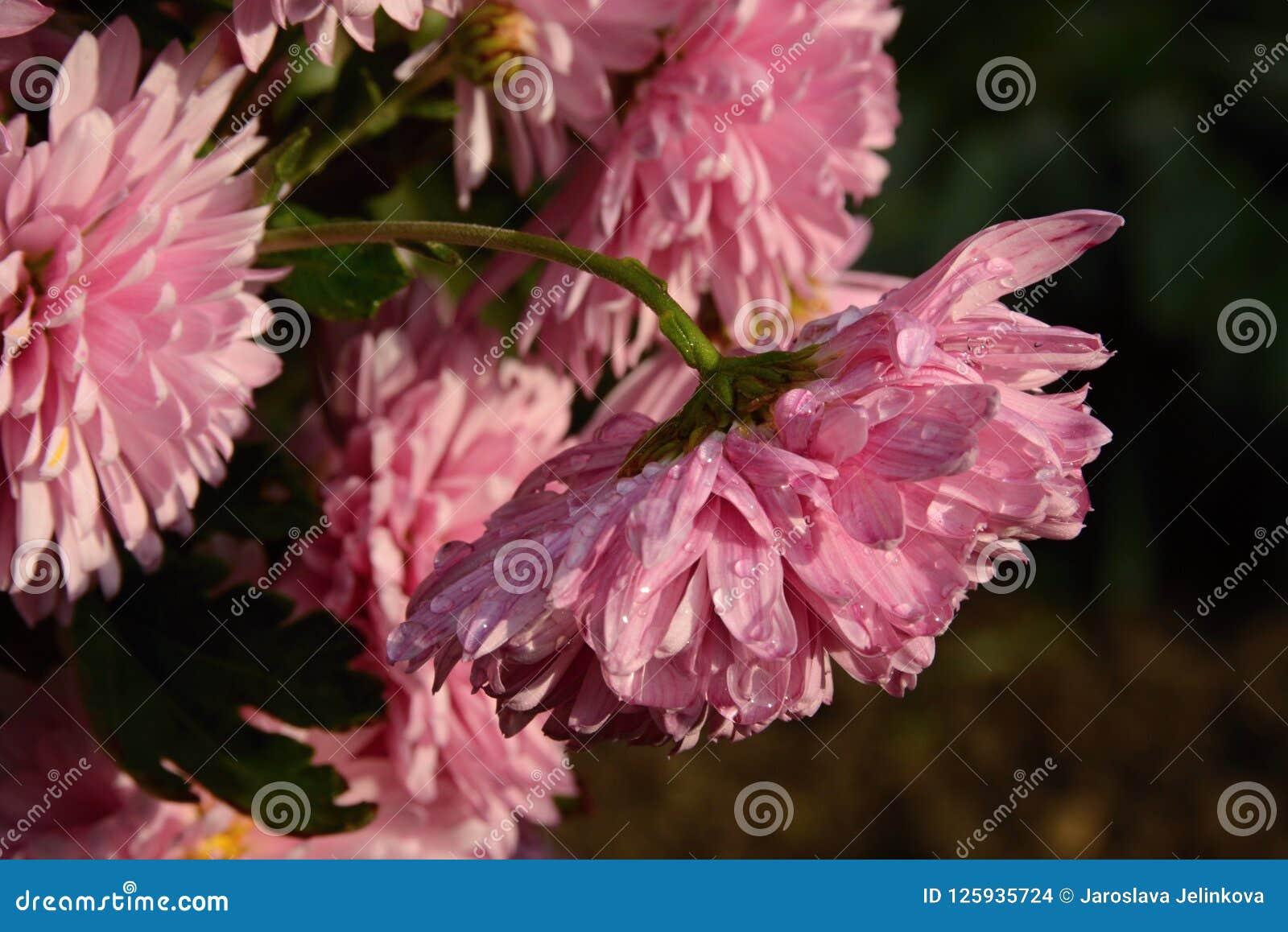Chrysanthèmes roses après pluie à la lumière du coucher de soleil