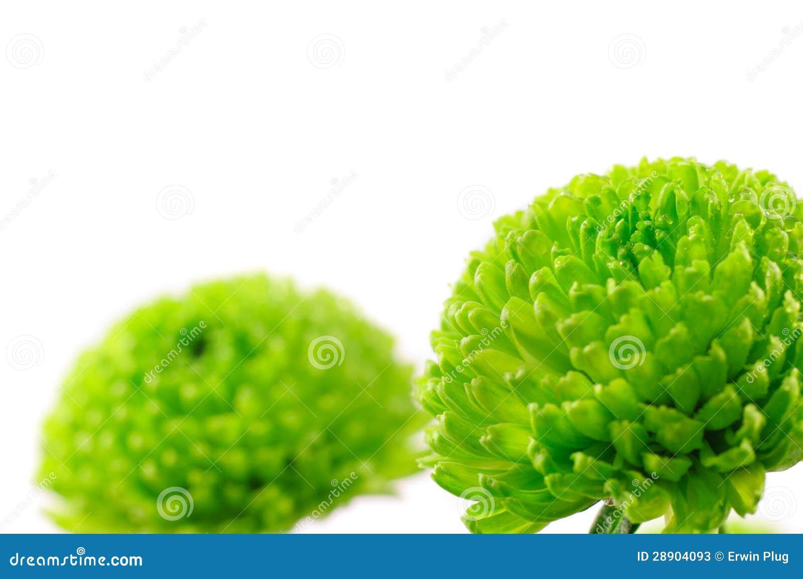 Chrysanth grünes Santini