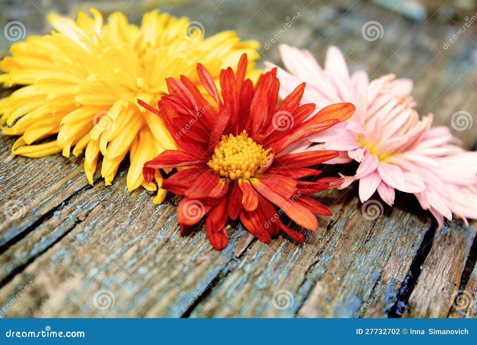 Chrysantheme über Holz