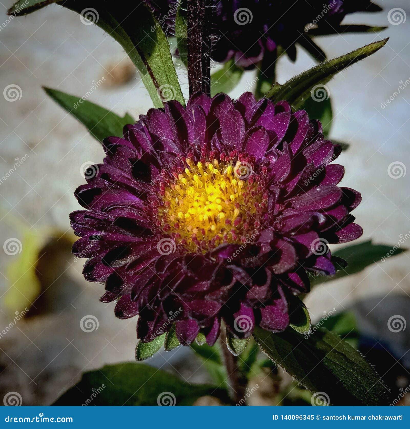 Chrysanthemen, kastanienbraune Farbe Guldaudi im Garten
