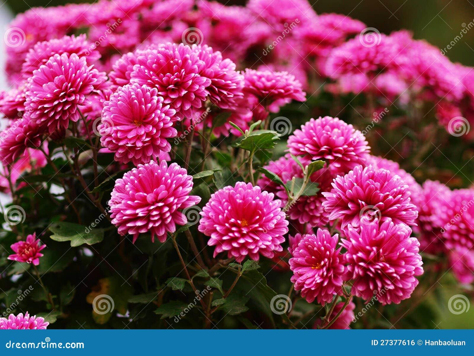chrysanthemum royalty free stock image image 27377616