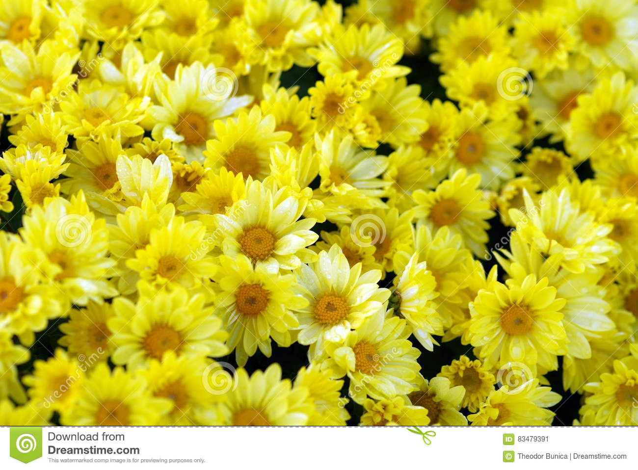 Chrysanthemums. Background of yellow flowers