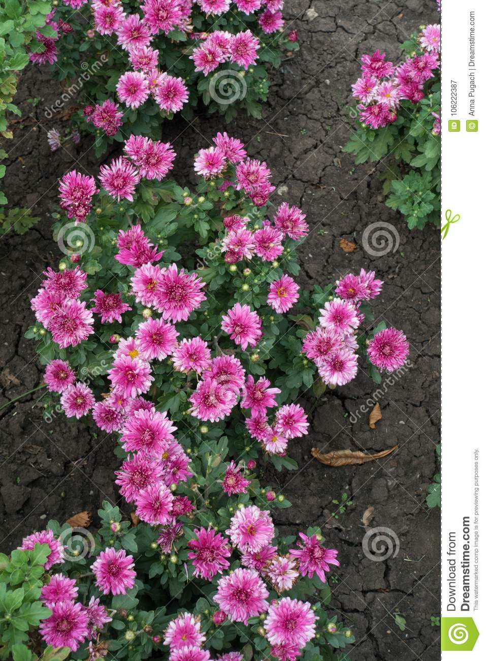 Chrysanthemum With Pink Flowers In Autumn Stock Image Image Of
