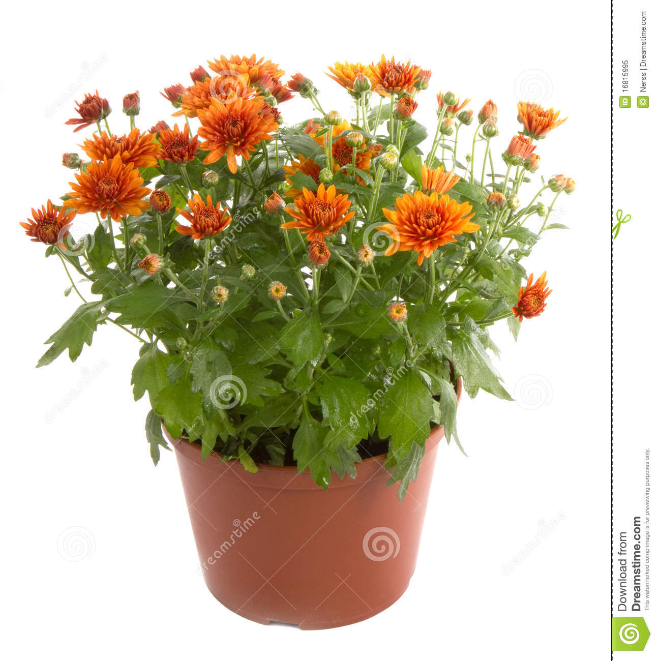 Chrysanthemum flower royalty free stock photo image 16815995 - Potted autumn flowers ...
