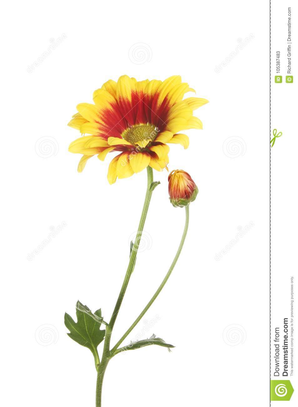 Chrysanthemum flower and bud