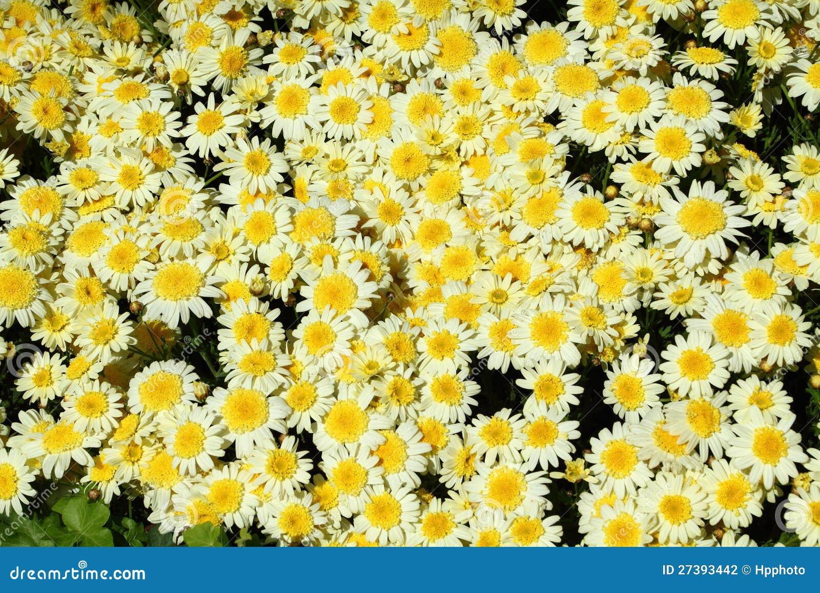 Chrysanthemum Flower In The Garden Background Stock Photography