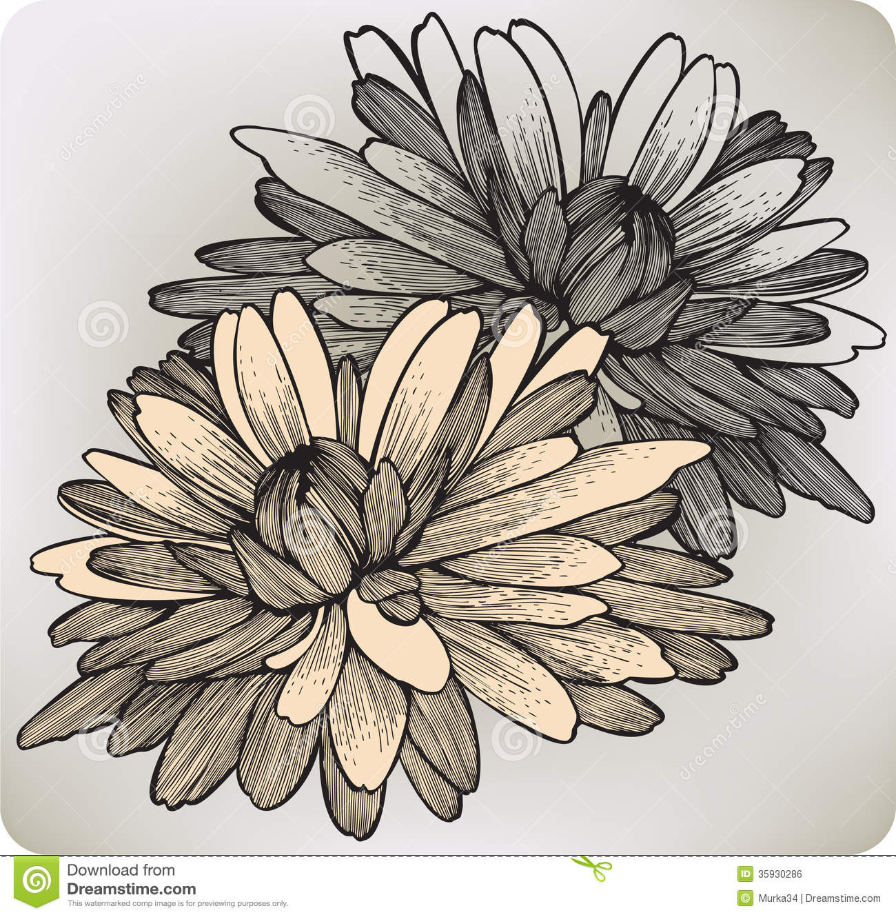 Chrysanthemum Flower, Hand-drawing. Vector Illustr Royalty ...