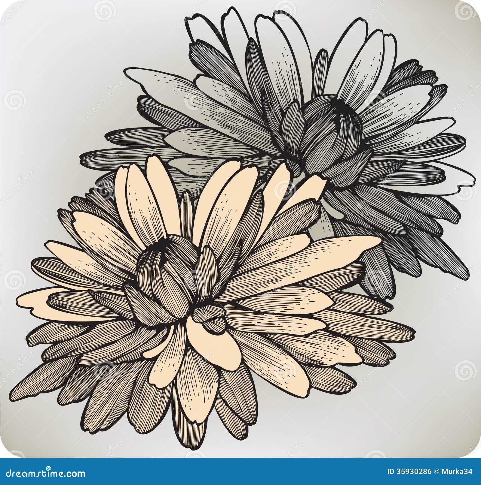 Chrysanthemum Flower Line Drawing : Chrysanthemum flower hand drawing vector illustr royalty