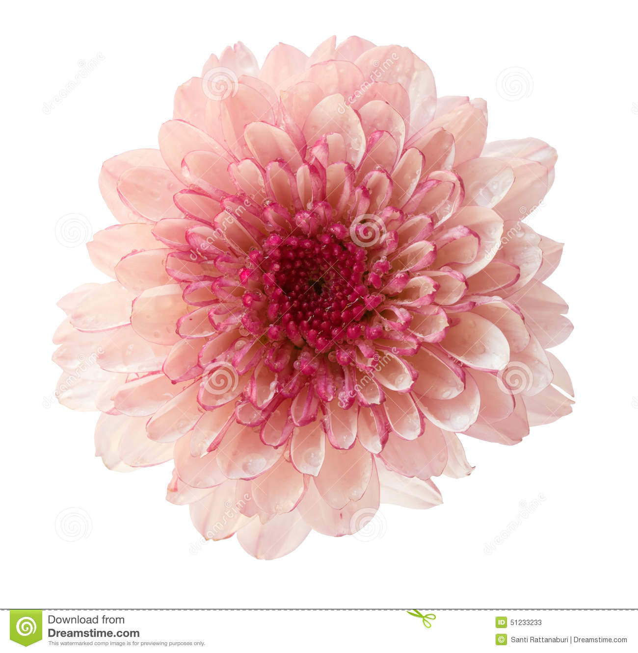 Chrysanthemum Flower Isolated On White Background Stock ...