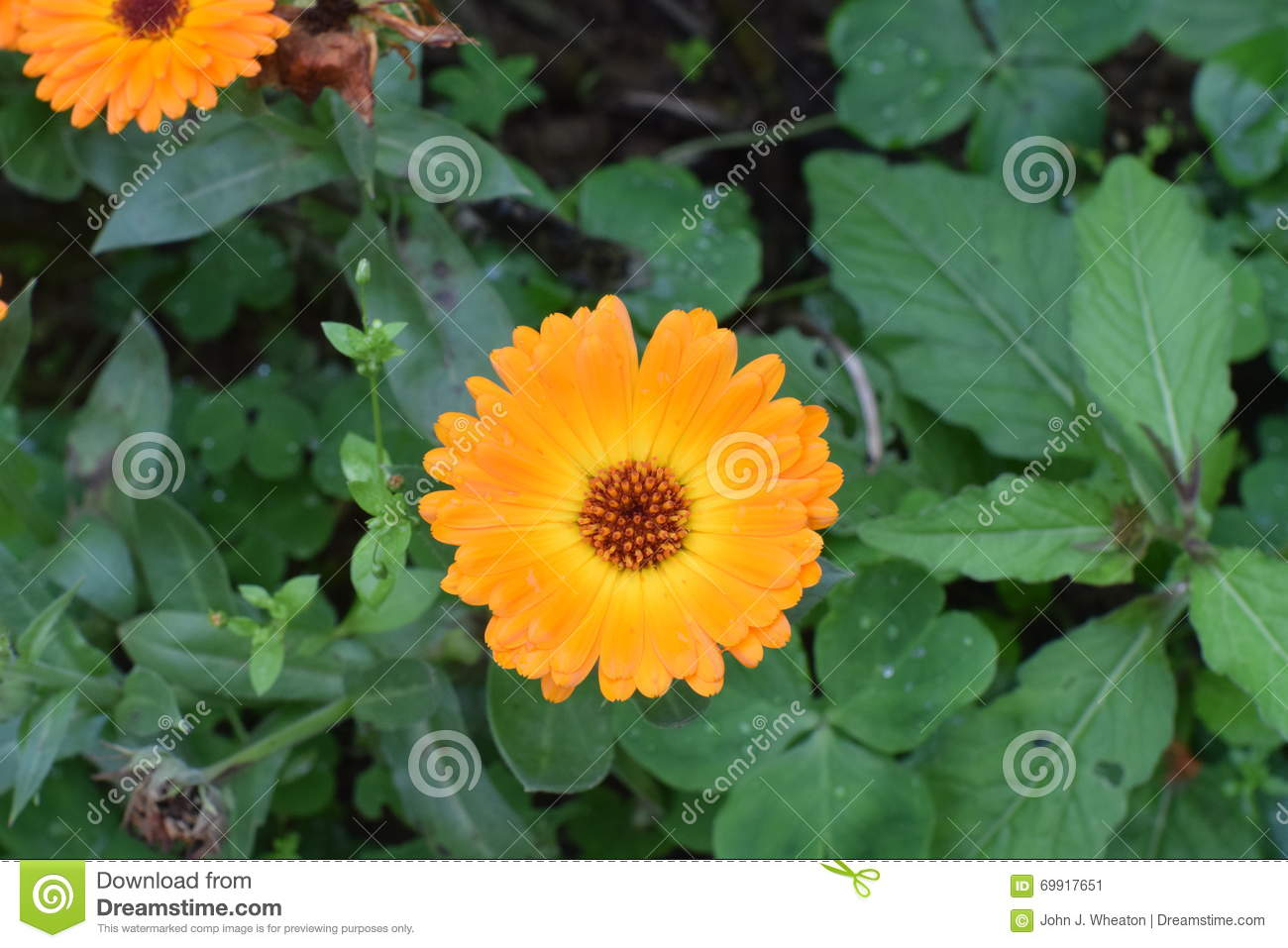 Chrysanthemum Flower After A Spring Rain Stock Image Image Of
