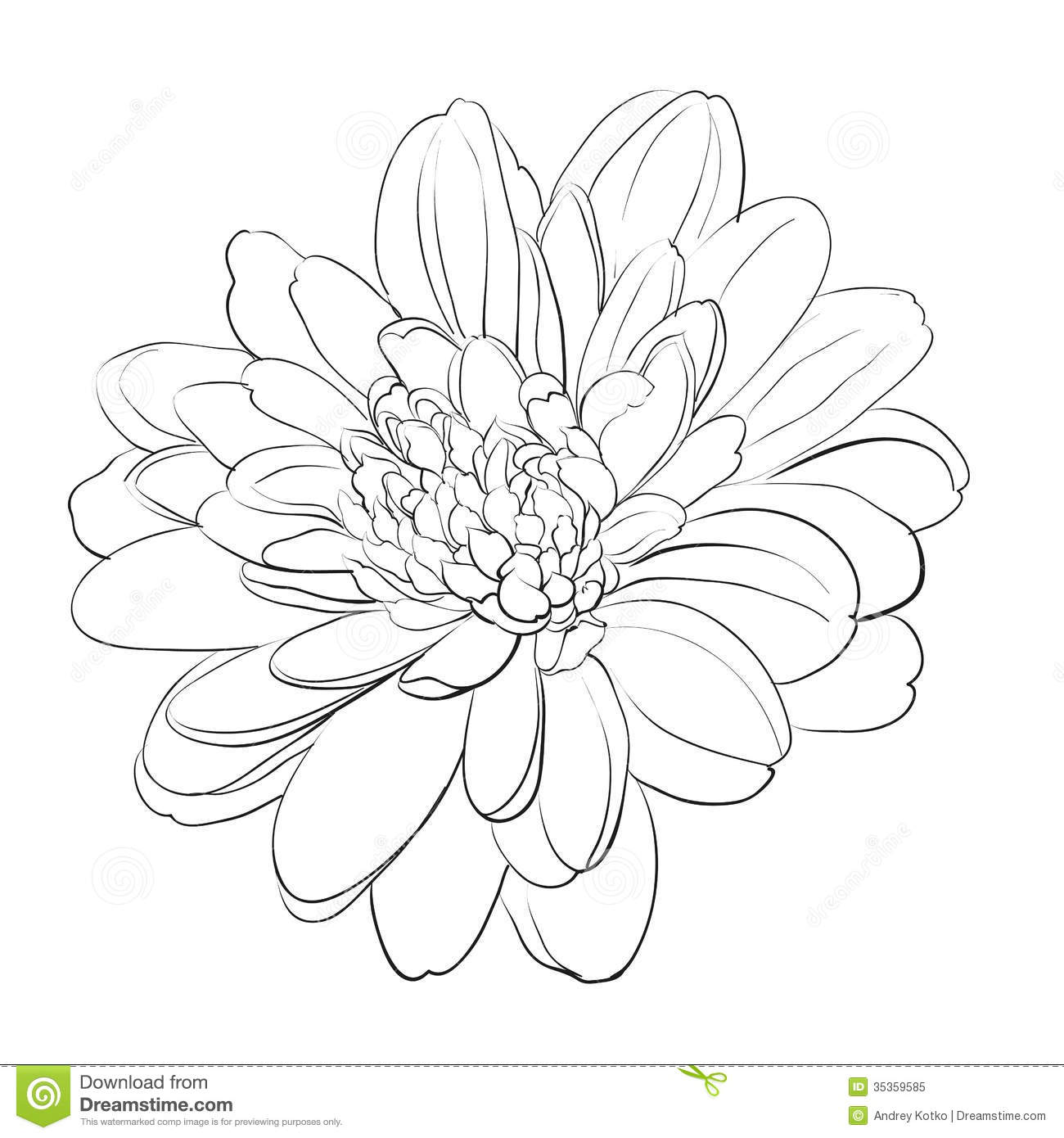 Chinese Flower Line Drawing : Chrysanthemum flower on white background stock image
