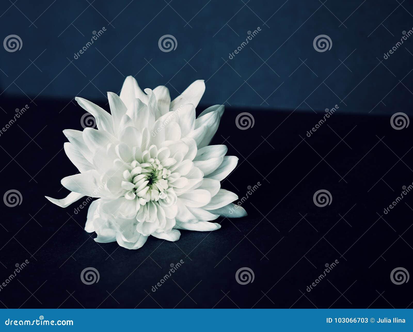 Chrysanthemum Flower White Close Up Background Black Stock Image