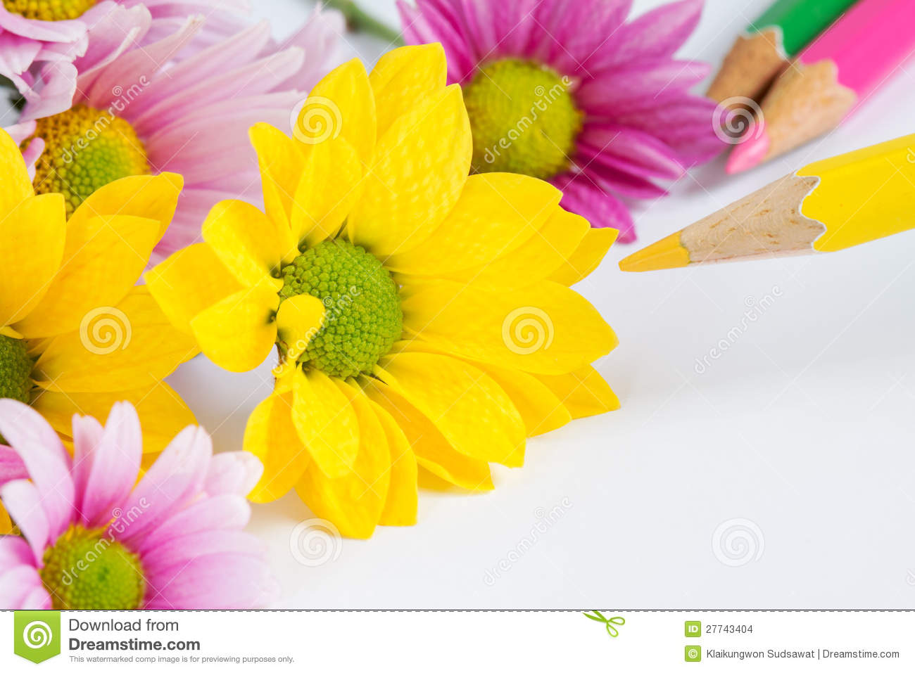 Chrysanthemum Flower With Yellow Color Pencil Stock Photo Image Of