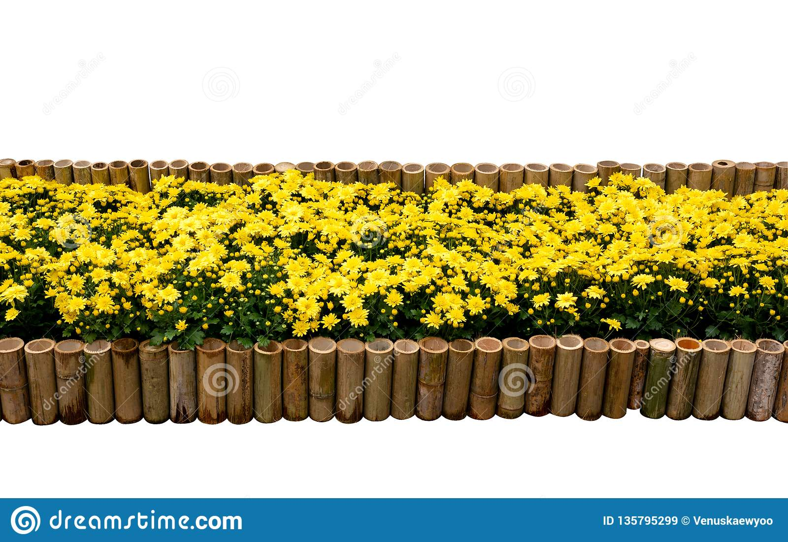 Chrysanthemum flowers in bamboo fence for backdrop isolated on white background, clipping path