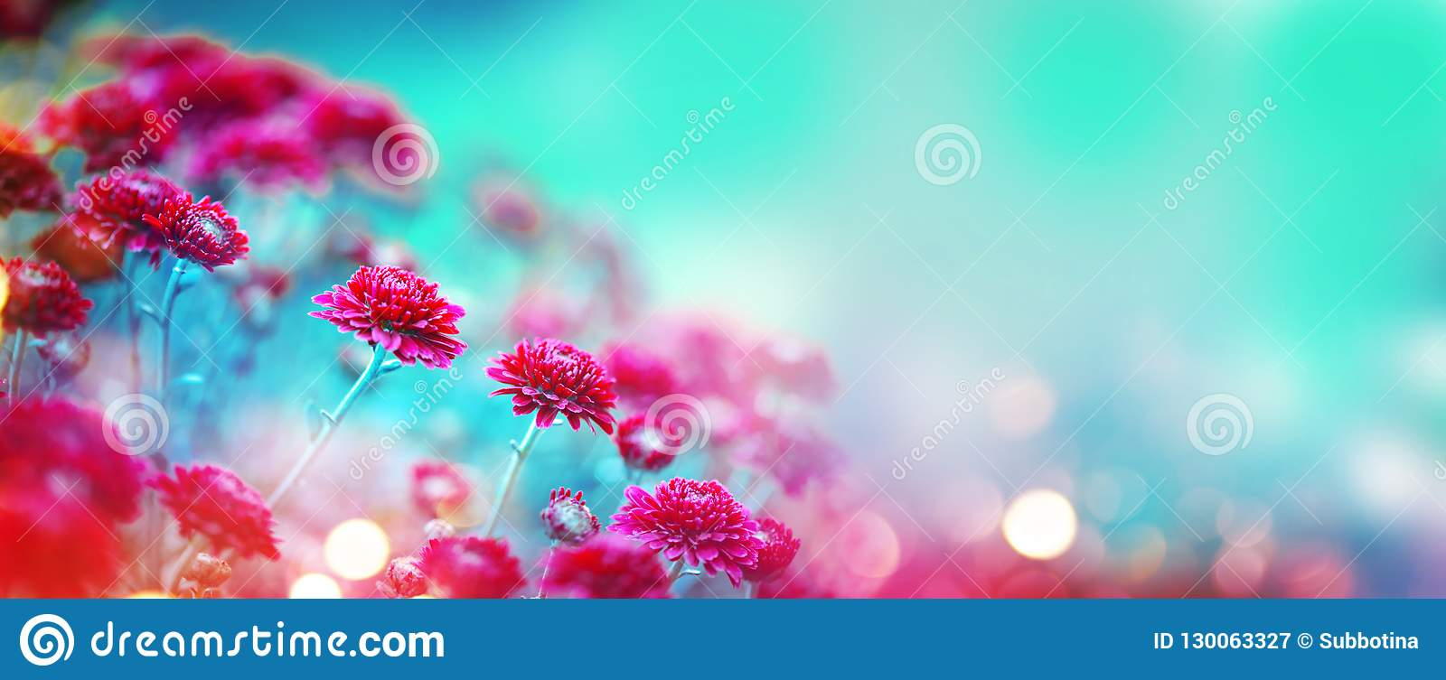 Chrysanthemum flowers blooming in a garden. Beauty autumn flowers