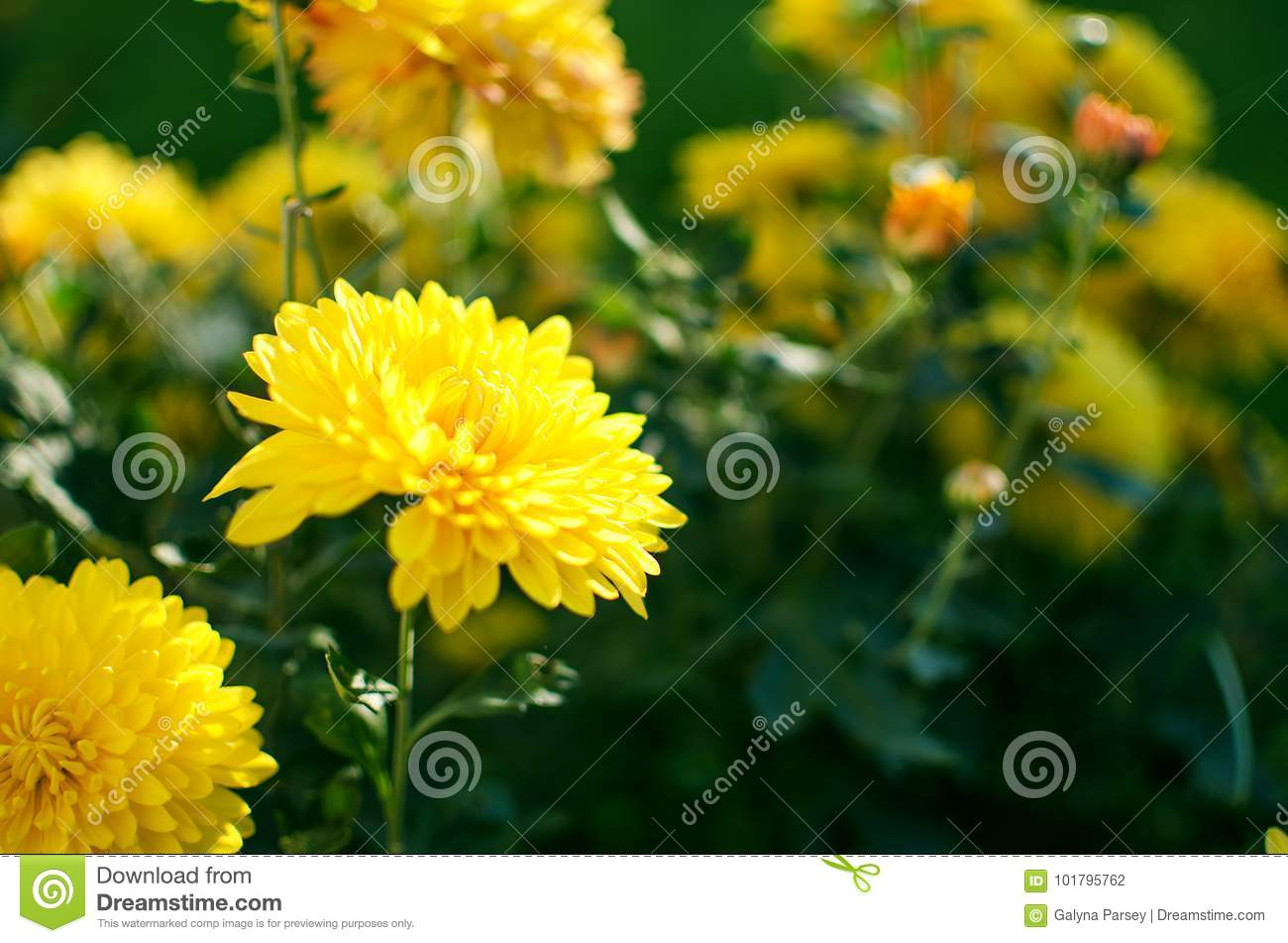 Chrysanthemum Flowers Grow Outdoors In The Fall Stock