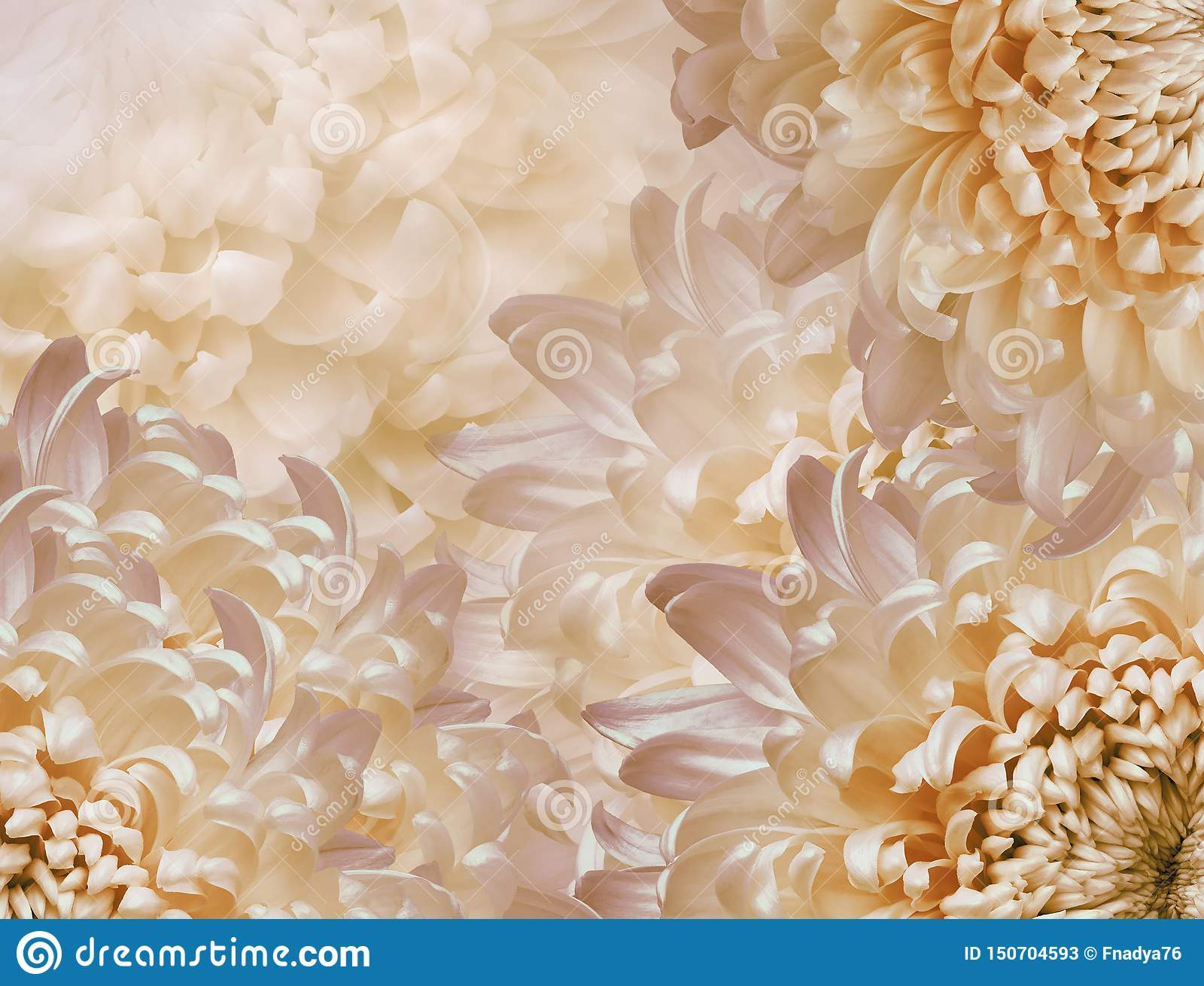 Chrysanthemum flowers. l pink and yellow and orange background. floral collage. flower composition. Close-up.