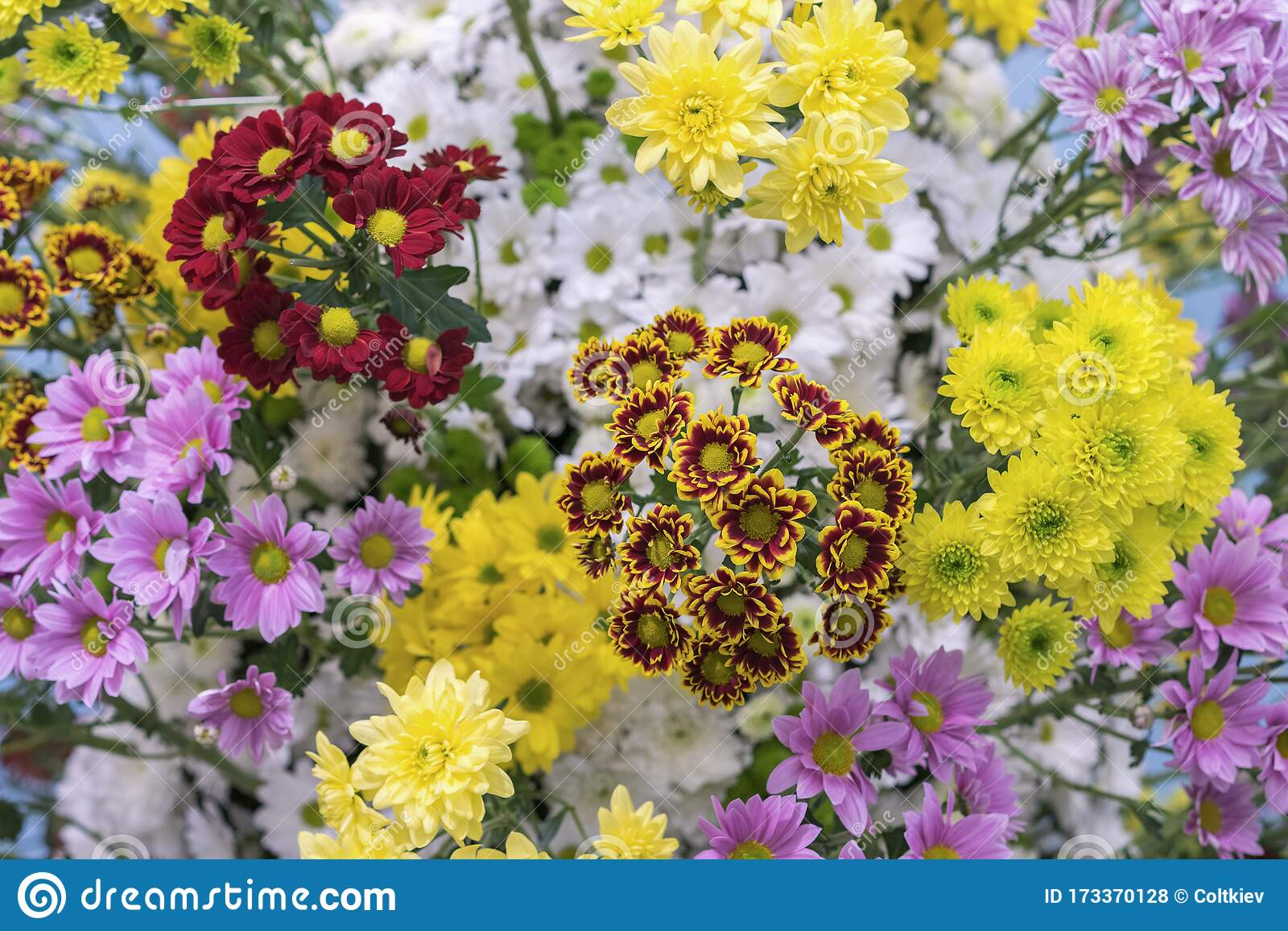 Chrysanthemum Flowers Texture And Background Spring Flowers Of