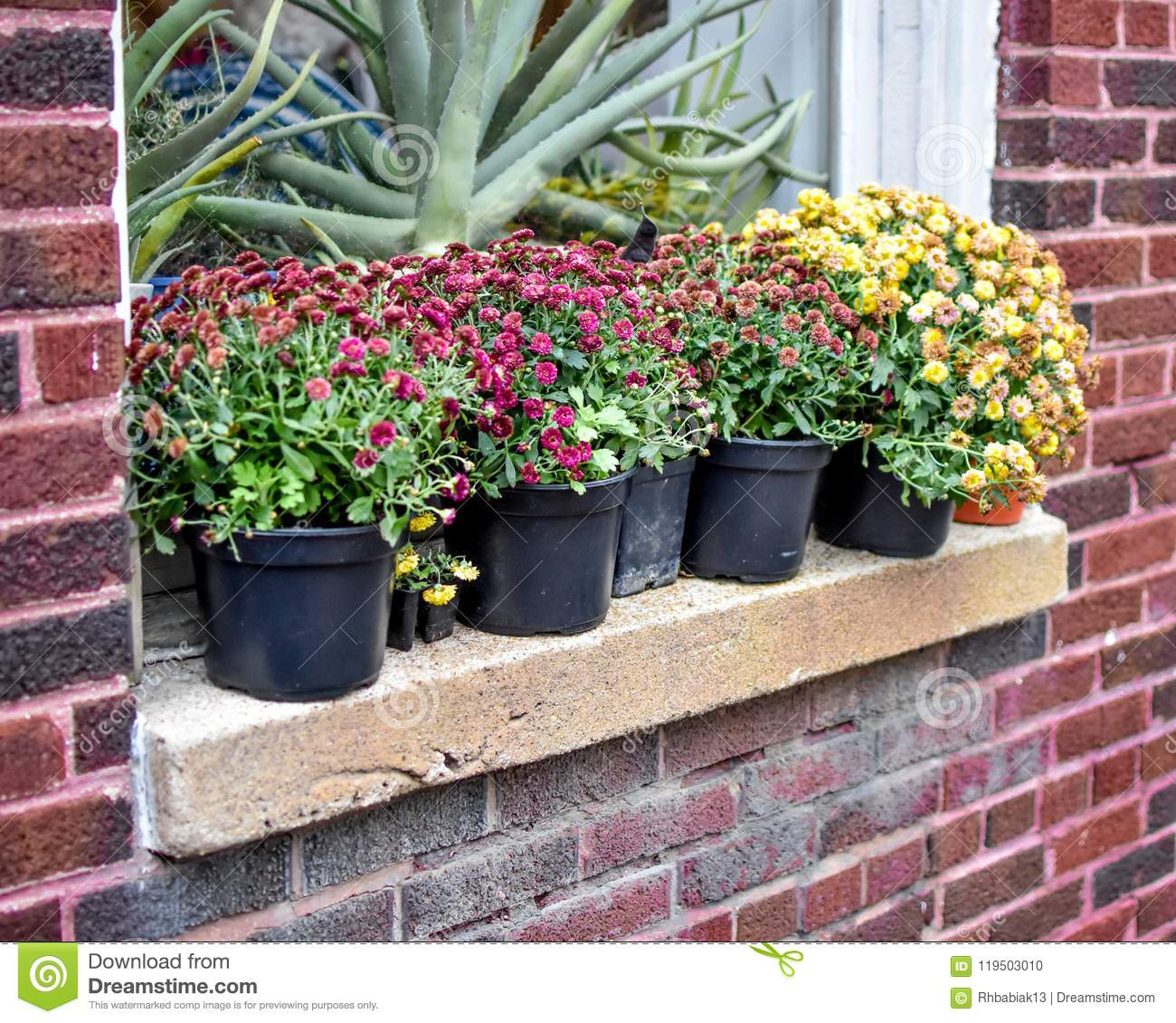 Chrysanthemum Flowers on Windowsill of Brick Building