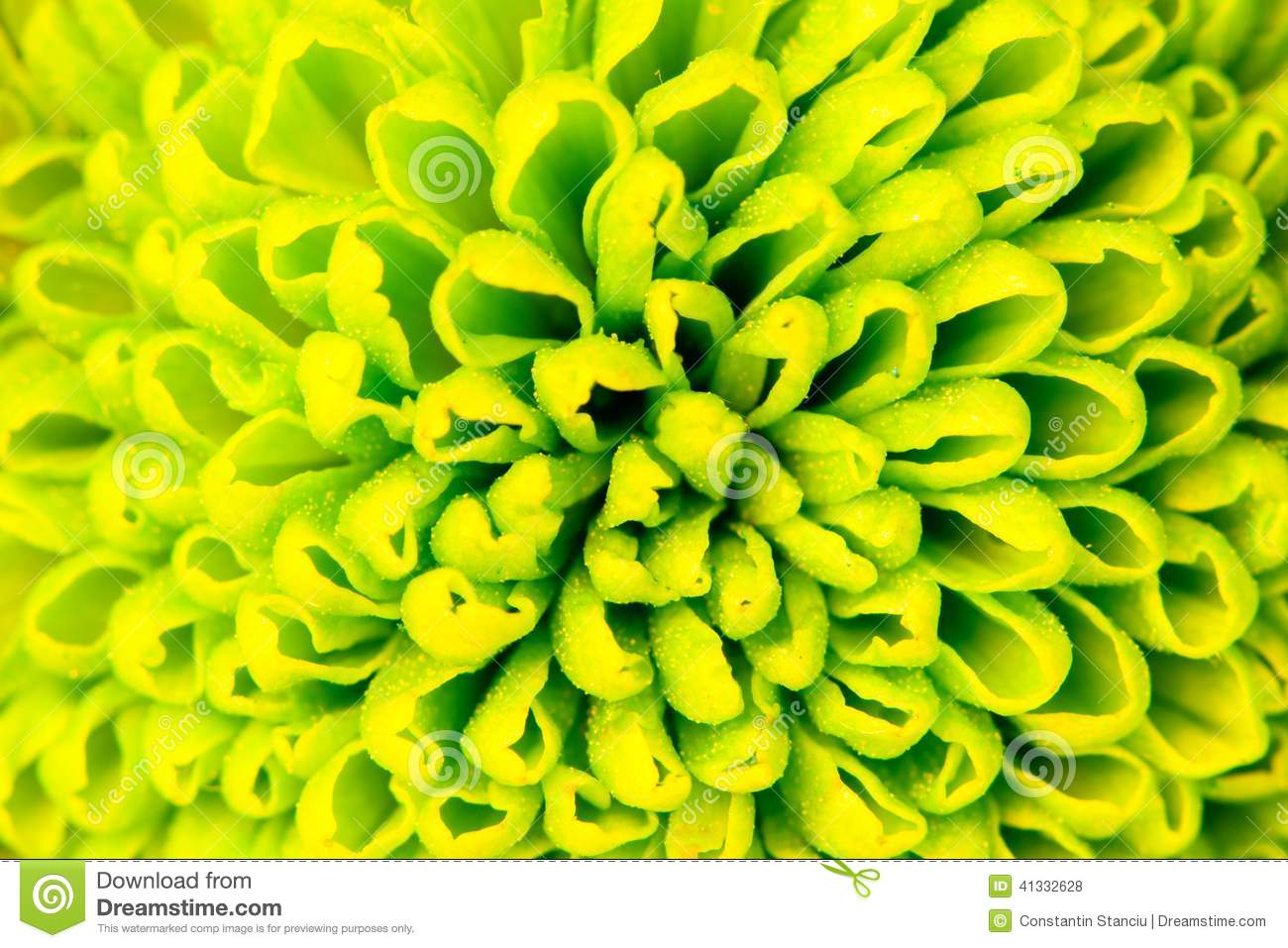 Chrysanthemum green flower closeup, abstract background