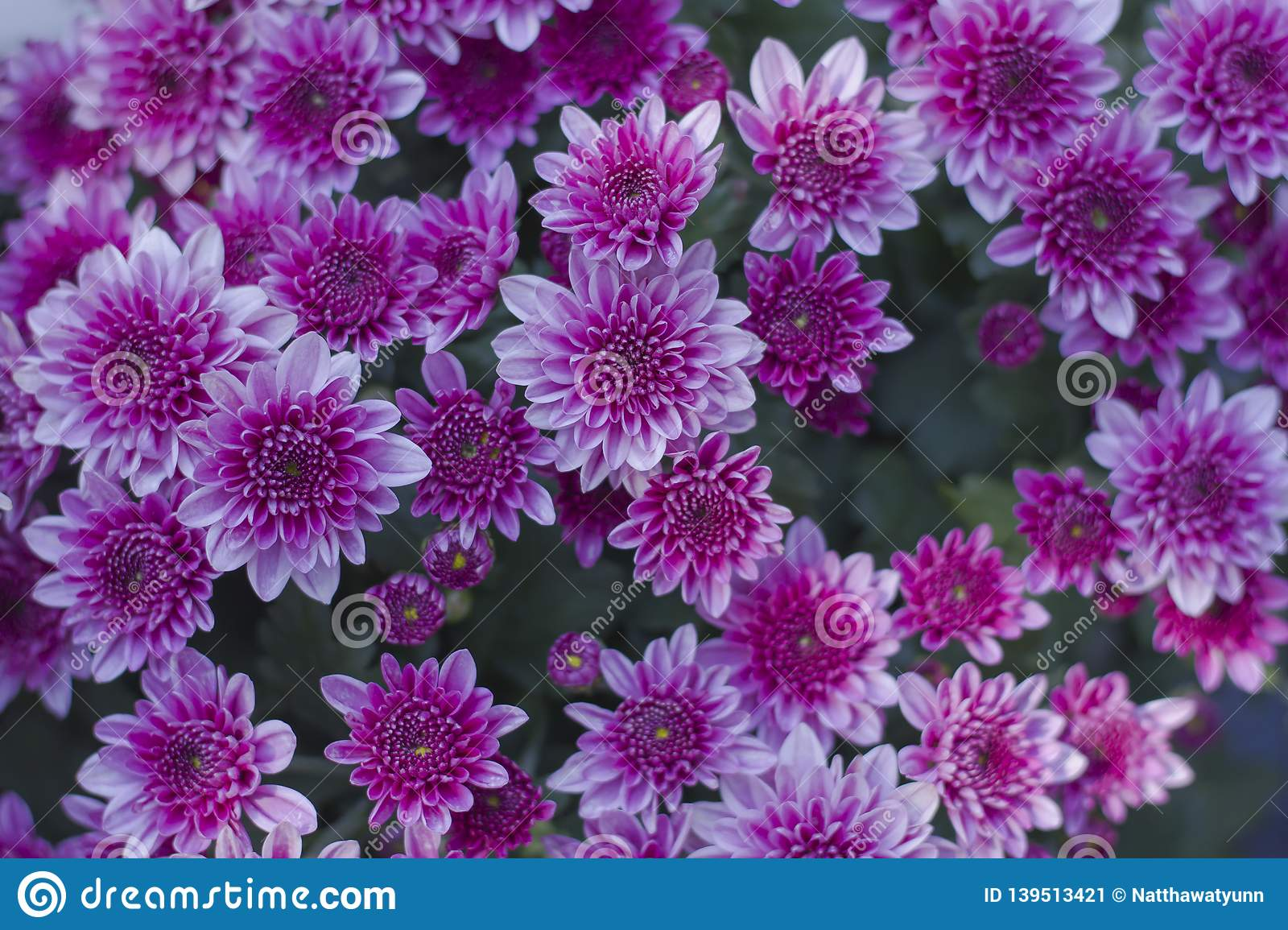 Chrysanthemum has beautiful pink and white fins. Flowers decorated with home and garden
