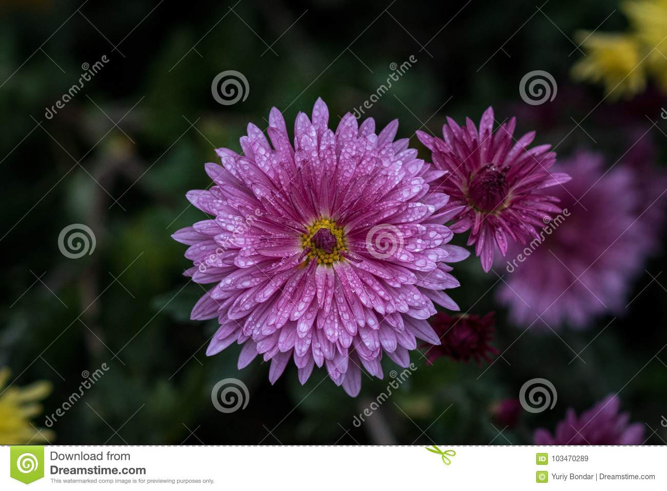 Chrysanthemum herbaceous perennials and annuals of the family royalty free stock photo izmirmasajfo