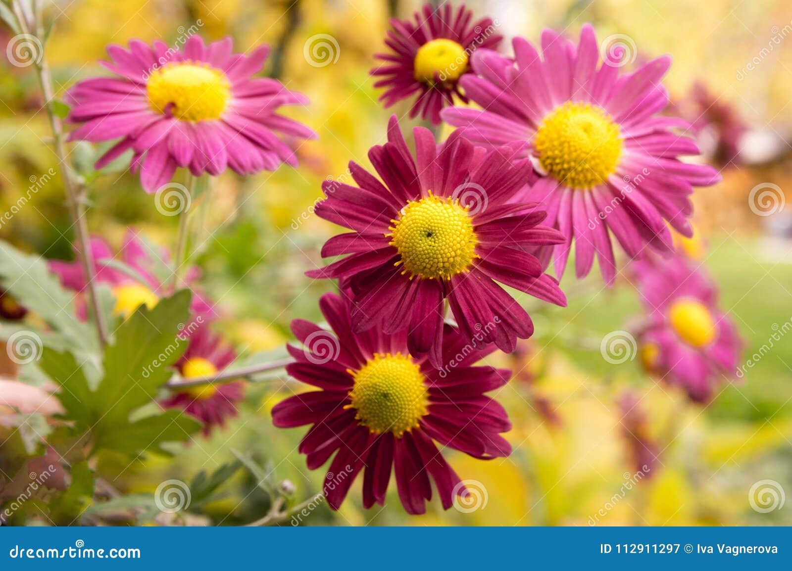 Chrysanthemum Indicum Mum Flowers In Bloom Stock Image Image Of