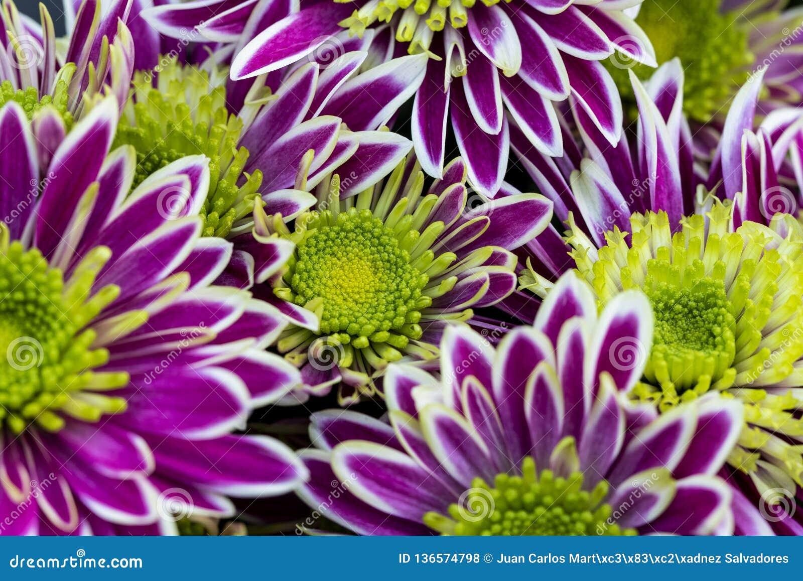 Gemeinsame Chrysanthemum Indicum With Purple And White Flower Stock Photo &JR_02