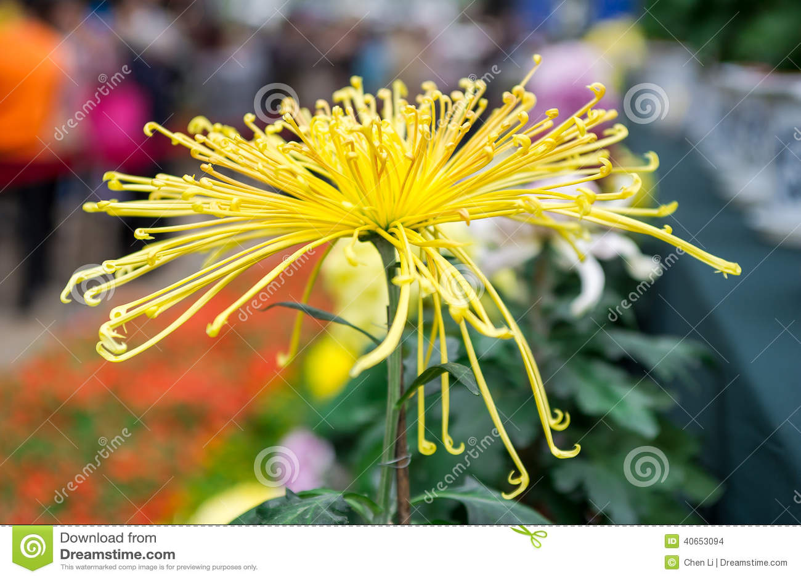 Chrysanthemum Stock Photo Image 40653094