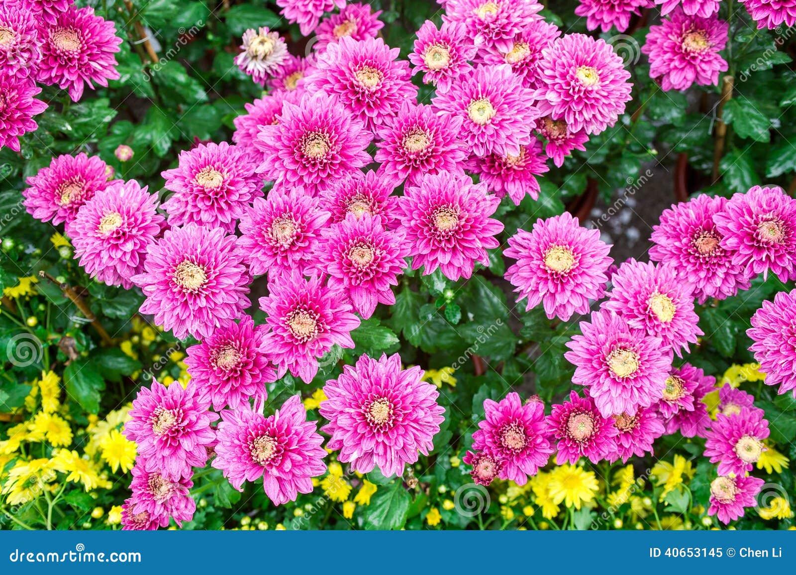 Chrysanthemum Stock Photo Image 40653145