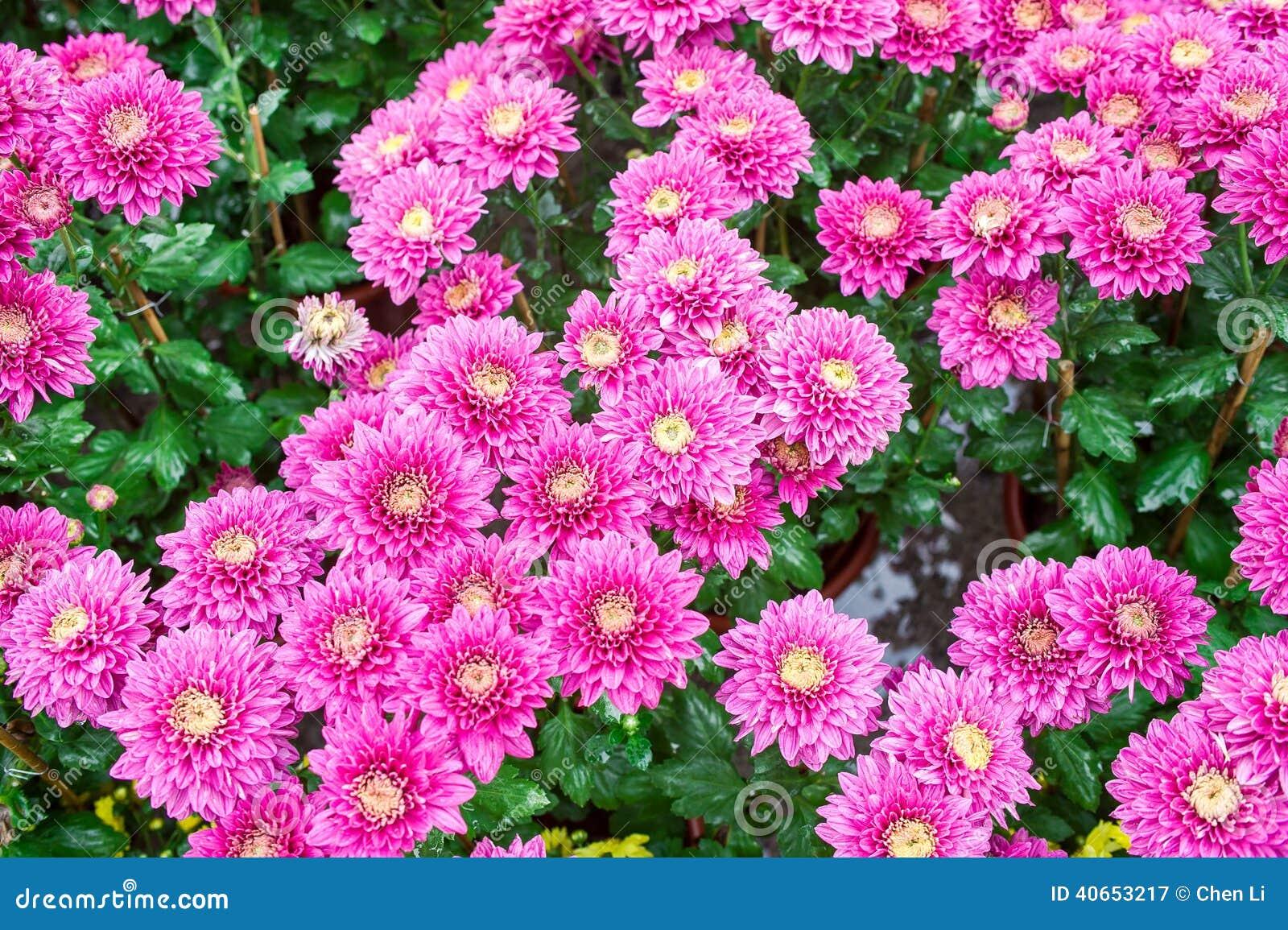 Chrysanthemum Stock Photo Image 40653217