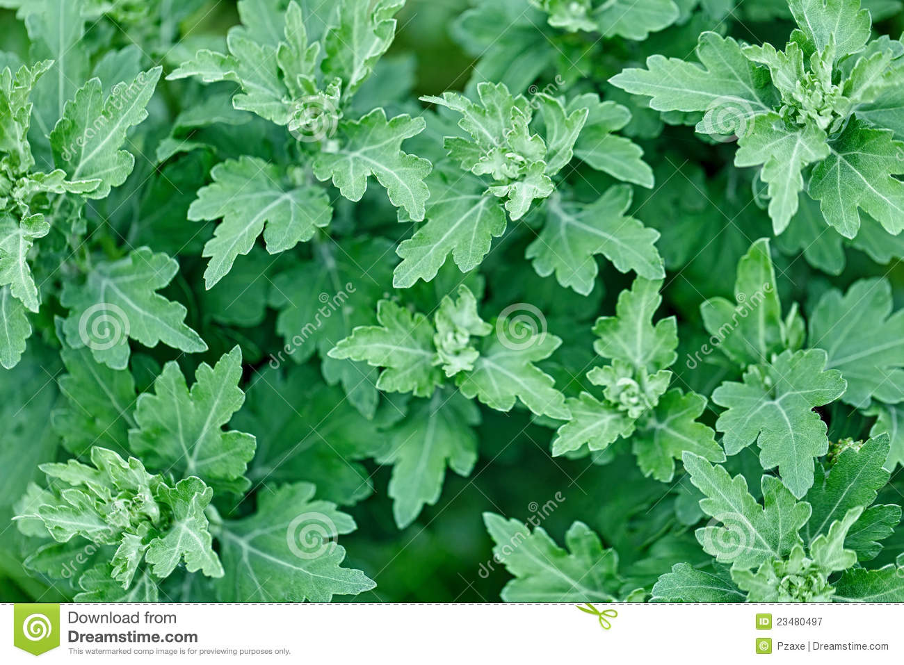 Chrysanthemum Leaves Without Flowers Royalty Free Stock