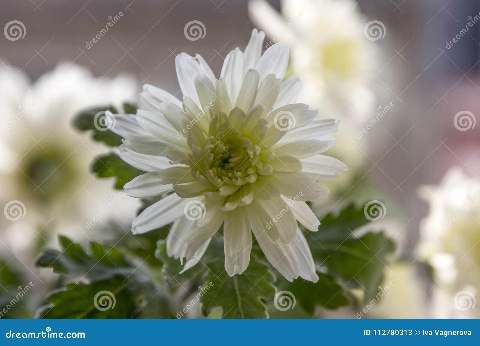 Chrysanthemum Morifolium White Autumn Ornamental Flowers Stock Image
