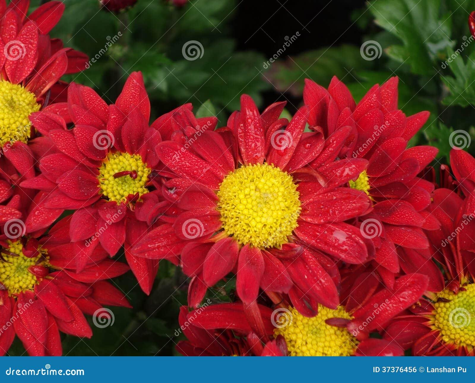 Chrysanthemum stock photo image of medicinal chrysanthemum 37376456 download chrysanthemum stock photo image of medicinal chrysanthemum 37376456 izmirmasajfo