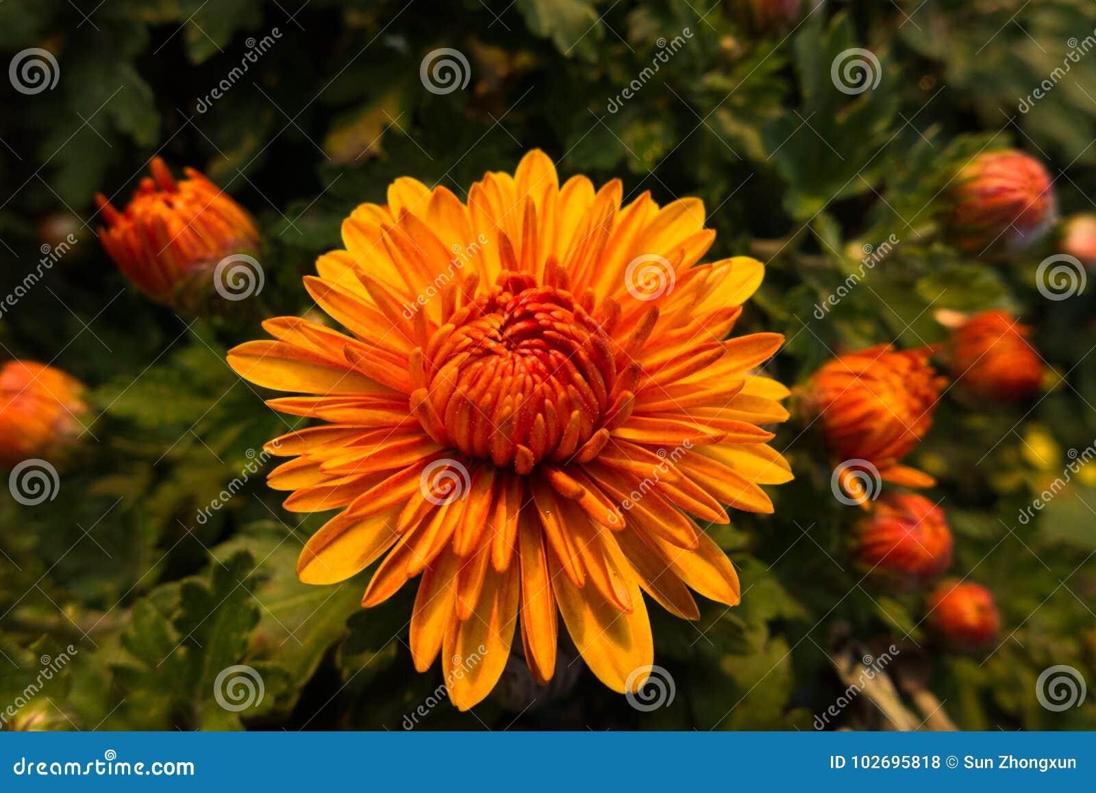 Chrysanthemum Stock Photo Image Of Symbol Longevity 102695818