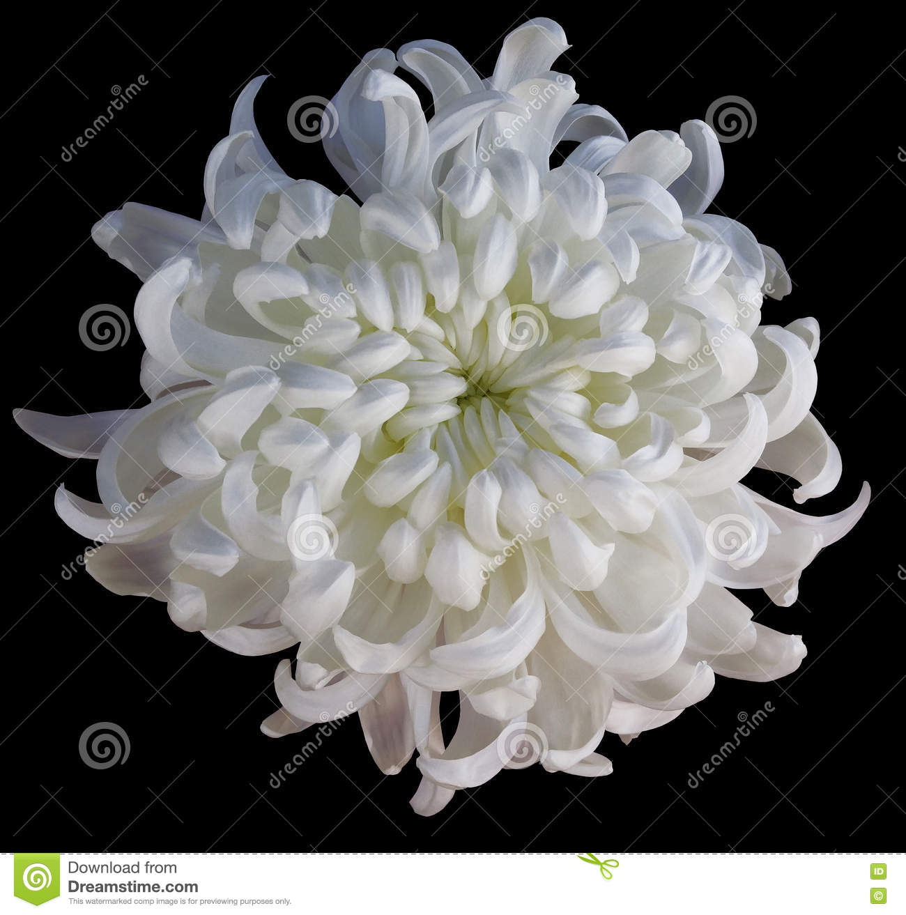 Chrysanthemum White Flower Isolated With Clipping Path On A Black