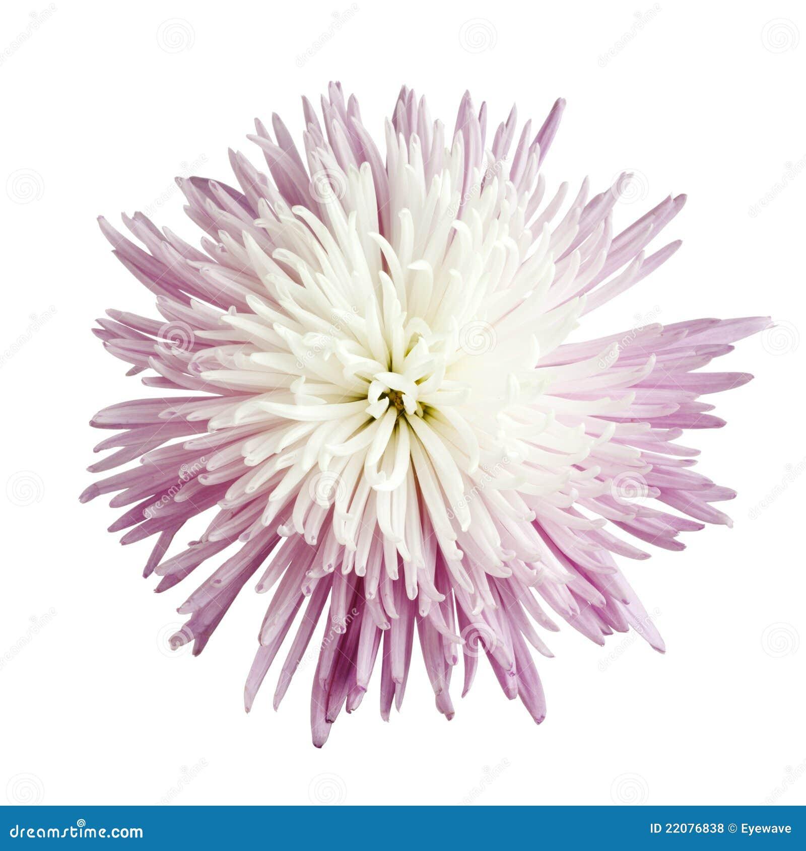 Chrysanthemummumspindel