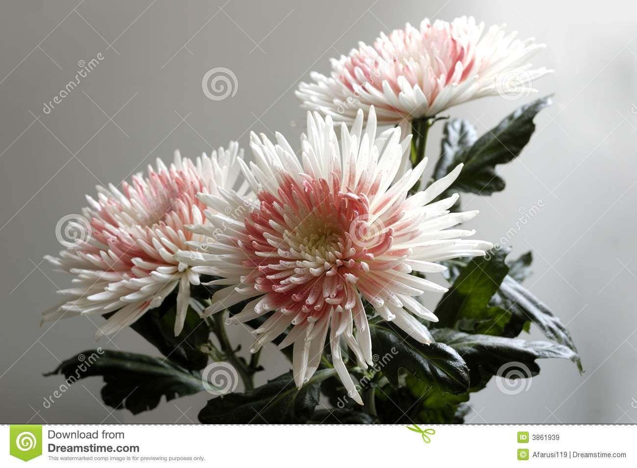 a critical reading of odour of chrysanthemums 'odour of chrysanthemums' is a popular story, with a substantial body of secondary critical and contextual materials  questions to guide reading and seminar.