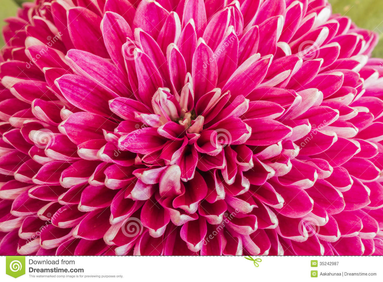 Chrysanthemums Blooming Royalty Free Stock Photography