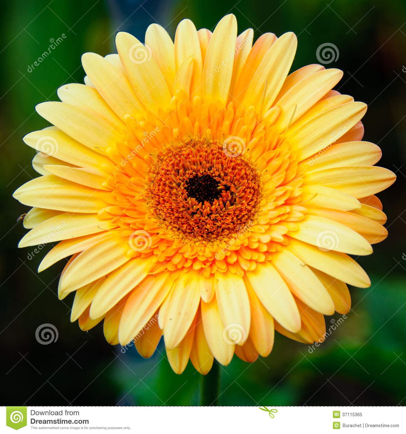Chrysanthemums Royalty Free Stock Photo - Image: 37115365