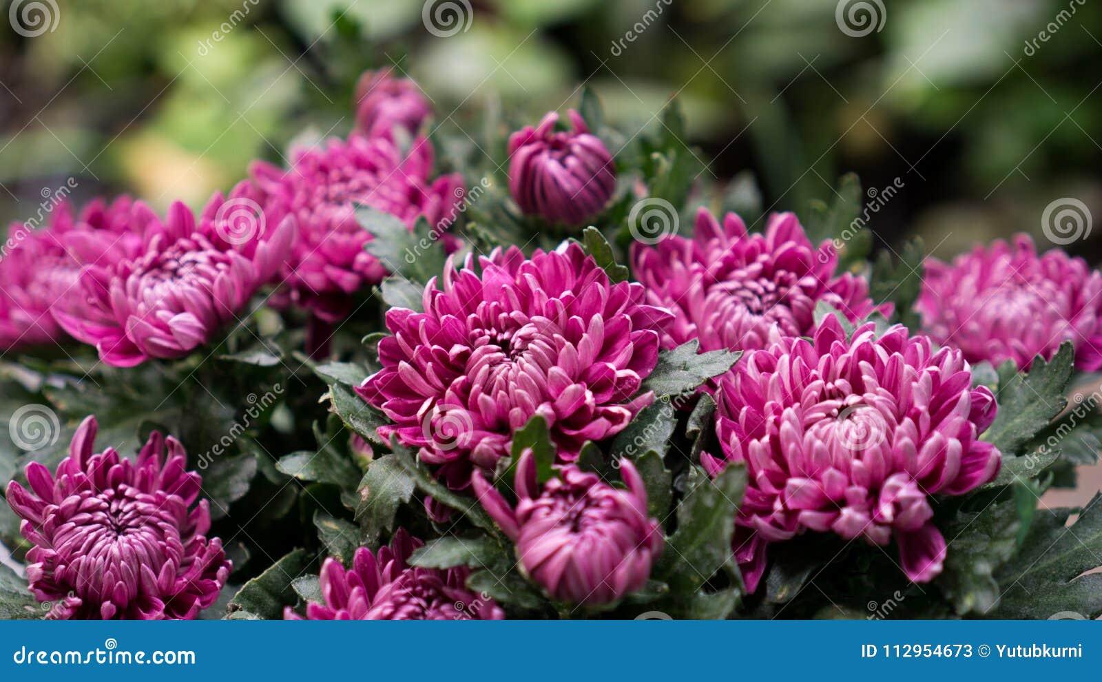 Pink Chrysanthemum Flower In Bloom Stock Image Image Of Flowering