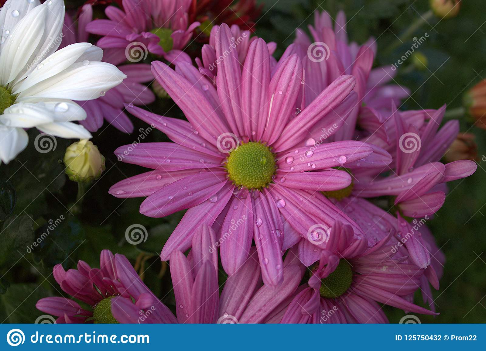 Chrysanthemums White And Lilac The Flowers Of Autumn Stock Photo