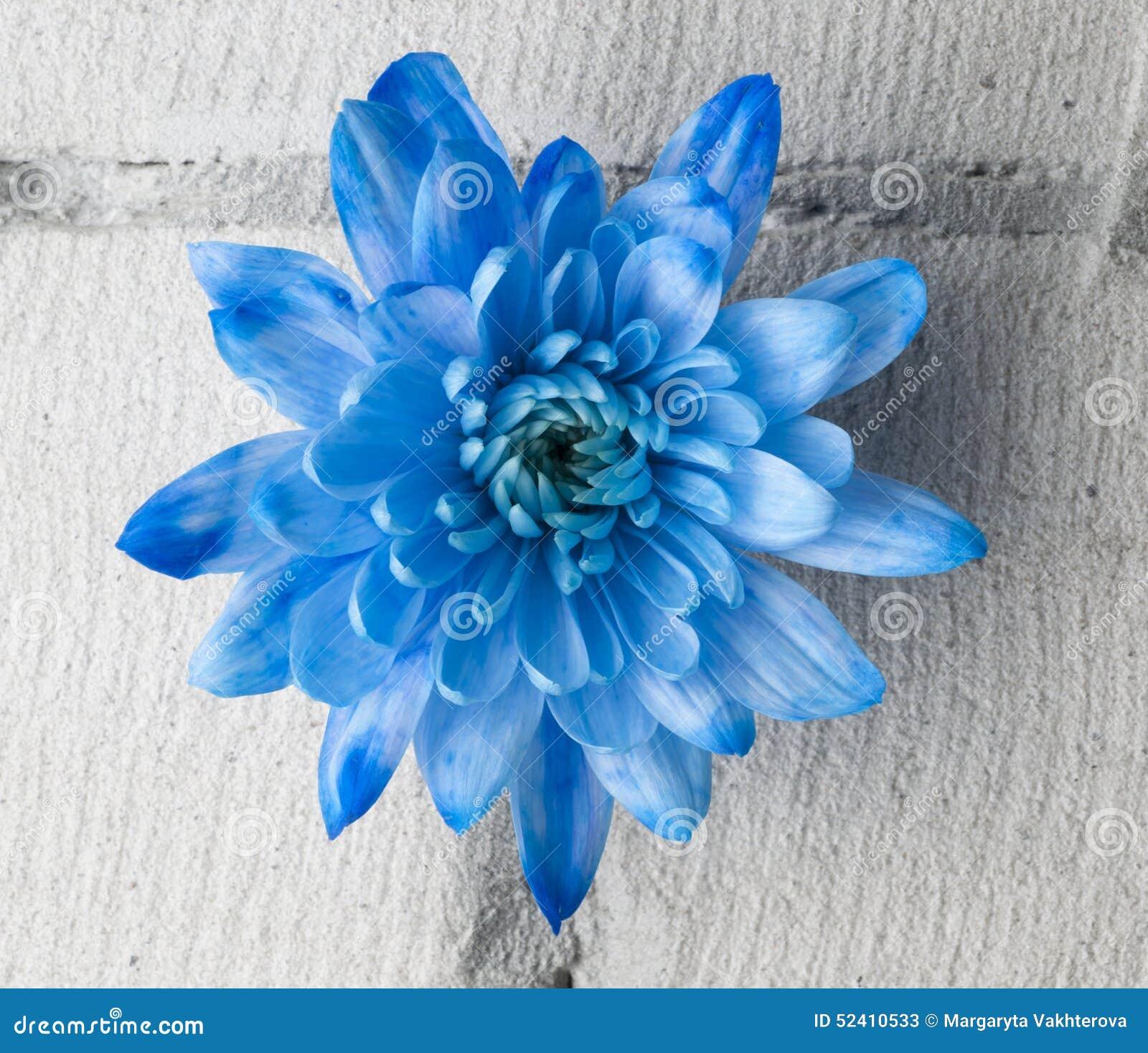 chrysanth me bleu au dessus de mur de briques gris photo stock image 52410533. Black Bedroom Furniture Sets. Home Design Ideas