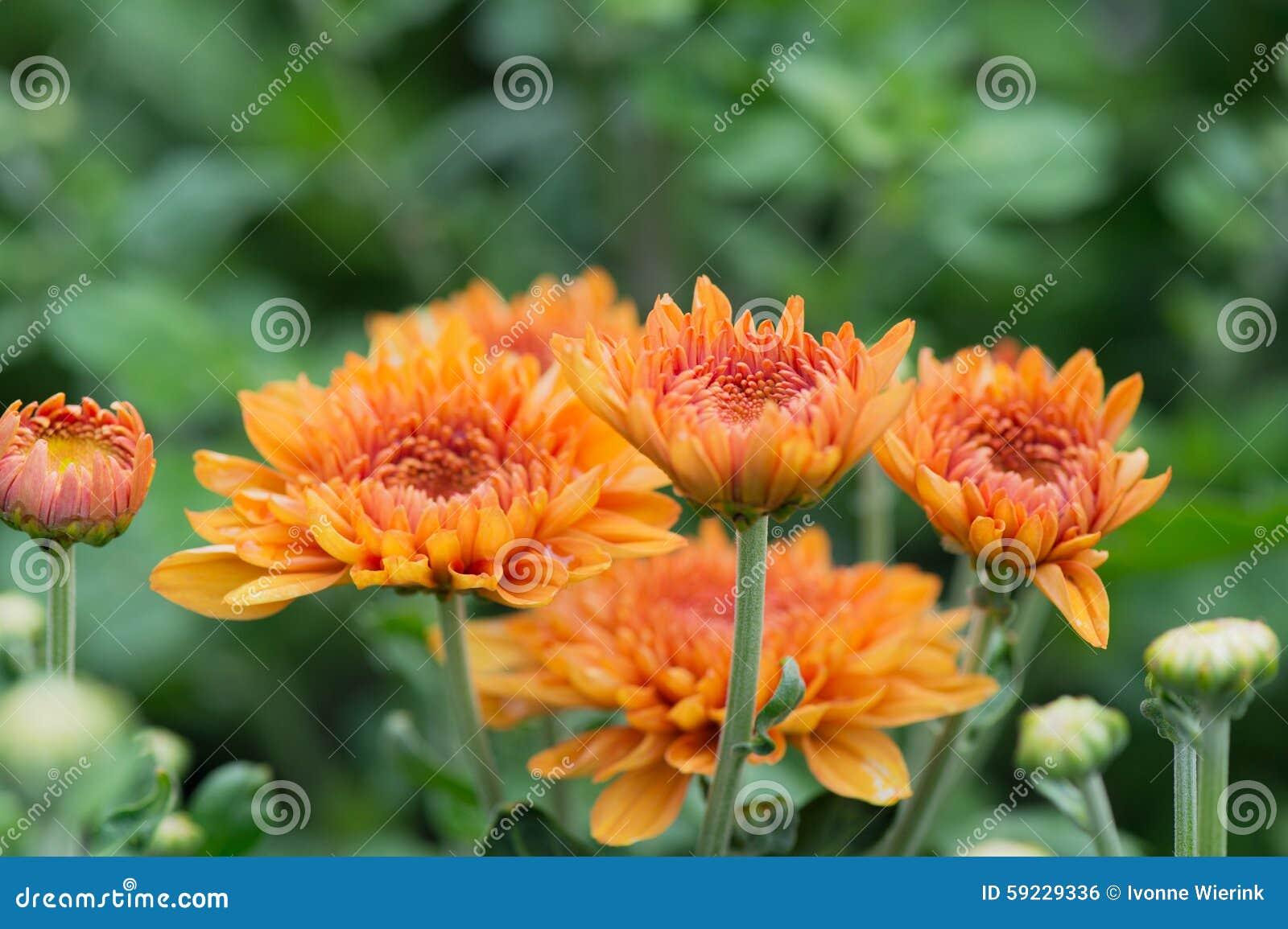 Chrysanths en jardín