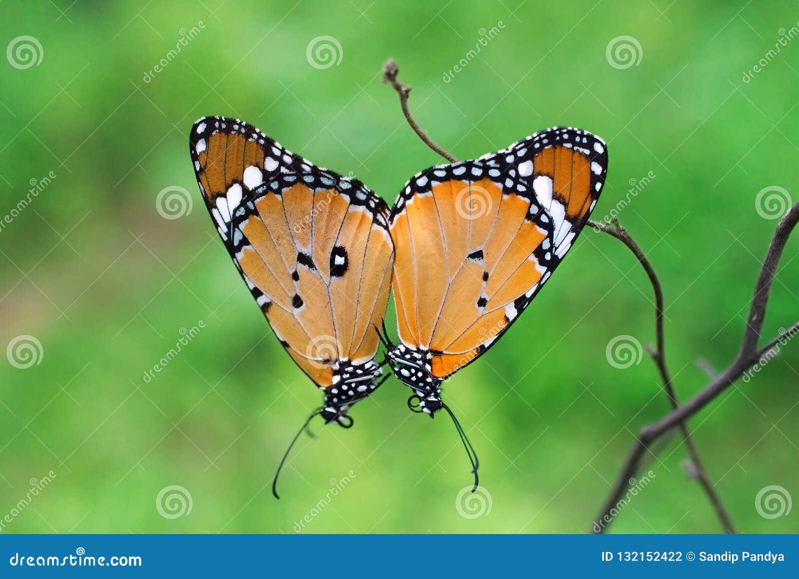 Chrysippus do Danaus ou acoplamento liso da borboleta do tigre