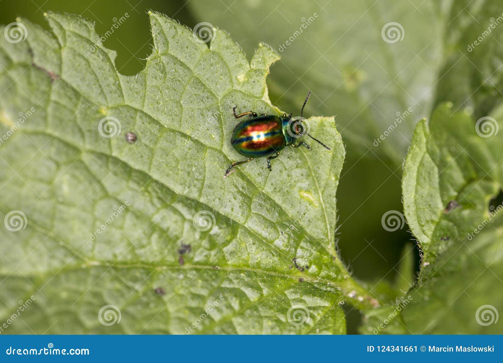 Chrysolina fastuosa,五颜六色的甲虫在一片绿色叶子,vi漫步